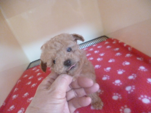 トイプードルの子犬(ID:1252311037)の1枚目の写真/更新日:2019-03-22