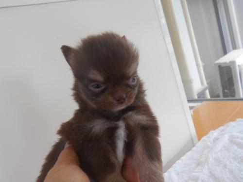 チワワ(ロング)の子犬(ID:1252311039)の2枚目の写真/更新日:2020-06-23