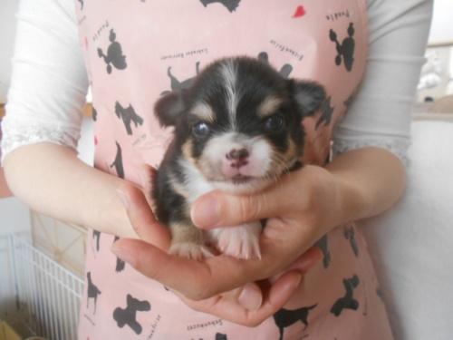 チワワ(ロング)の子犬(ID:1252311040)の1枚目の写真/更新日:2020-11-16