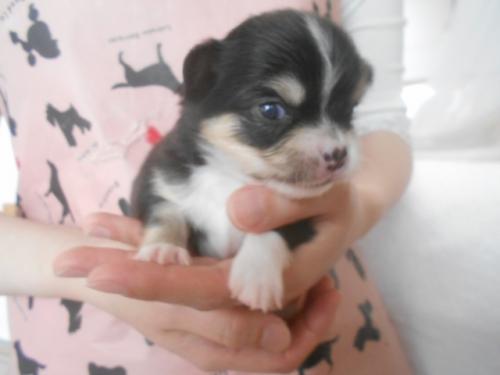 チワワ(ロング)の子犬(ID:1252311040)の3枚目の写真/更新日:2020-11-16