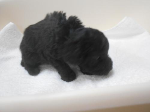 トイプードルの子犬(ID:1252311044)の2枚目の写真/更新日:2020-09-05