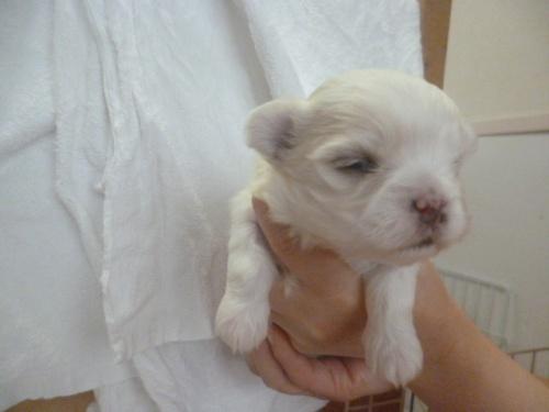マルチーズの子犬(ID:1252311046)の2枚目の写真/更新日:2019-03-22