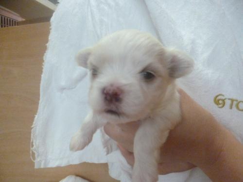 マルチーズの子犬(ID:1252311046)の3枚目の写真/更新日:2019-03-22