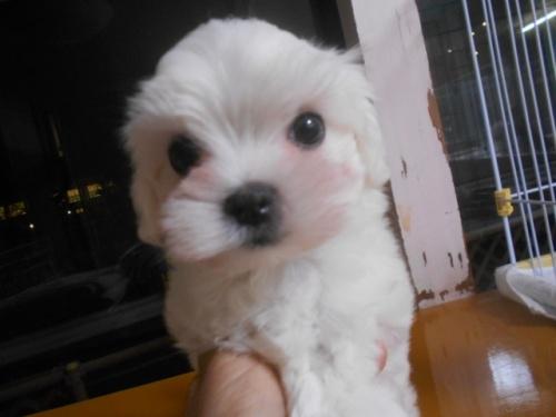 ミックスの子犬(ID:1252311048)の1枚目の写真/更新日:2018-07-15