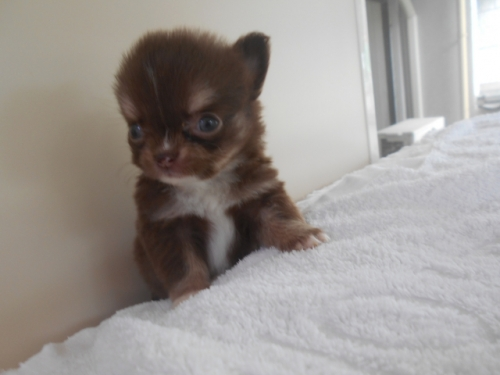 チワワ(ロング)の子犬(ID:1252311054)の3枚目の写真/更新日:2020-06-23