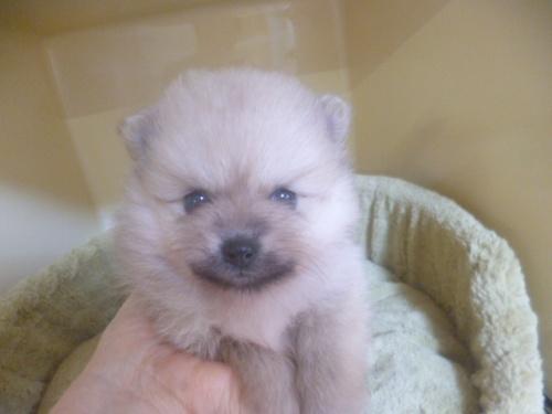ポメラニアンの子犬(ID:1252311055)の1枚目の写真/更新日:2019-05-02