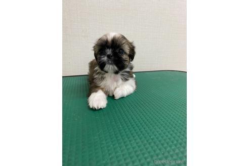 シーズーの子犬(ID:1252311060)の1枚目の写真/更新日:2019-05-24
