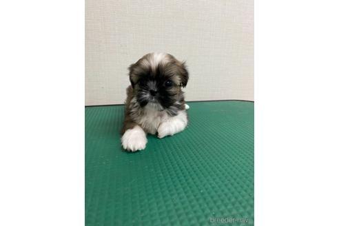 シーズーの子犬(ID:1252311060)の2枚目の写真/更新日:2019-05-24