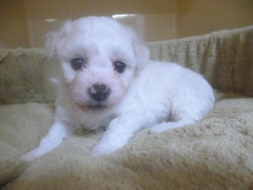 ビションフリーゼの子犬(ID:1252311062)の2枚目の写真/更新日:2019-05-06