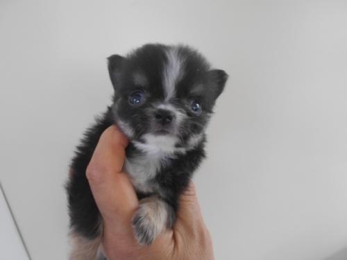 チワワ(ロング)の子犬(ID:1252311067)の1枚目の写真/更新日:2020-06-23