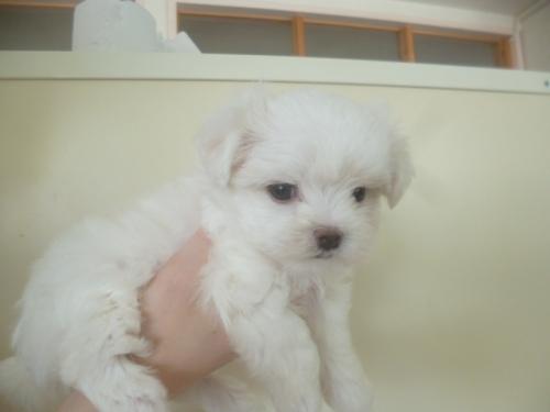マルチーズの子犬(ID:1252311076)の2枚目の写真/更新日:2018-08-14