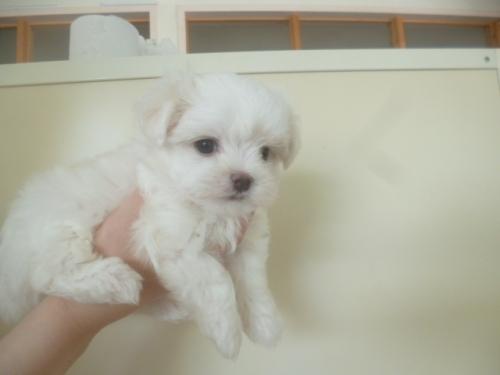 マルチーズの子犬(ID:1252311076)の3枚目の写真/更新日:2018-08-14