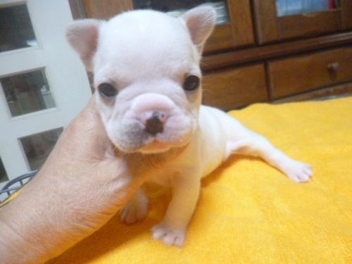 フレンチブルドッグの子犬(ID:1252311077)の2枚目の写真/更新日:2018-09-10