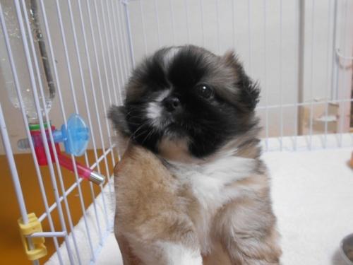 ペキニーズの子犬(ID:1252311082)の1枚目の写真/更新日:2018-07-23