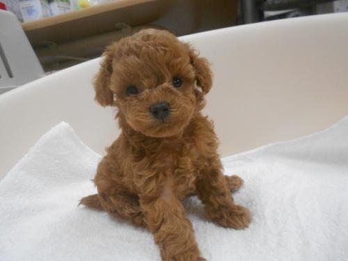 トイプードルの子犬(ID:1252311087)の1枚目の写真/更新日:2019-09-23