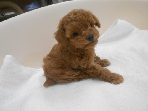 トイプードルの子犬(ID:1252311087)の2枚目の写真/更新日:2020-09-05
