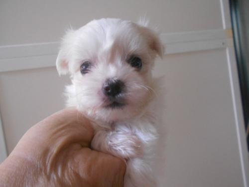 マルチーズの子犬(ID:1252311096)の1枚目の写真/更新日:2020-09-27