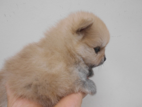 ポメラニアンの子犬(ID:1252311099)の3枚目の写真/更新日:2020-06-23