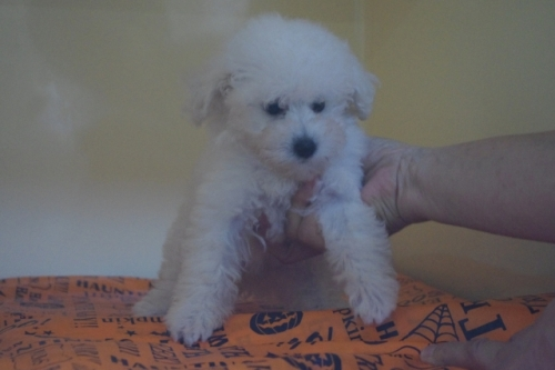 トイプードルの子犬(ID:1252311105)の2枚目の写真/更新日:2019-10-28