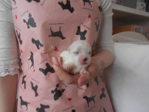 マルチーズの子犬(ID:1252311111)の1枚目の写真/更新日:2020-11-16