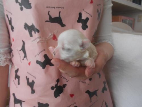 マルチーズの子犬(ID:1252311111)の2枚目の写真/更新日:2020-11-16