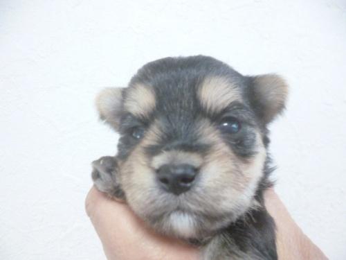 ミックスの子犬(ID:1252311125)の4枚目の写真/更新日:2018-07-15