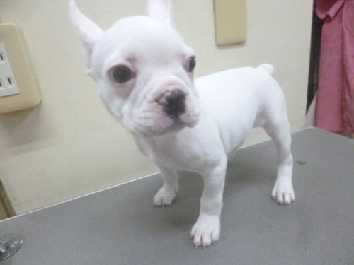 フレンチブルドッグの子犬(ID:1252311128)の2枚目の写真/更新日:2018-10-12