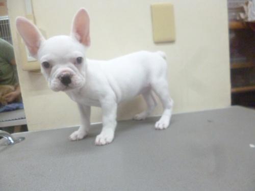 フレンチブルドッグの子犬(ID:1252311128)の3枚目の写真/更新日:2018-10-12