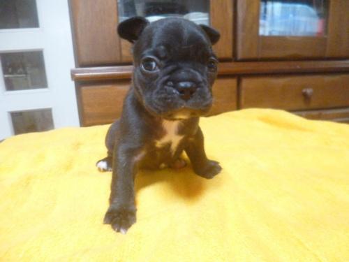 フレンチブルドッグの子犬(ID:1252311129)の1枚目の写真/更新日:2018-09-10