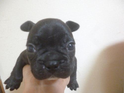 フレンチブルドッグの子犬(ID:1252311129)の2枚目の写真/更新日:2018-09-10