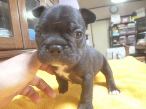 フレンチブルドッグの子犬(ID:1252311129)の3枚目の写真/更新日:2018-09-10