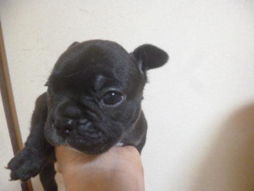 フレンチブルドッグの子犬(ID:1252311129)の4枚目の写真/更新日:2018-09-10