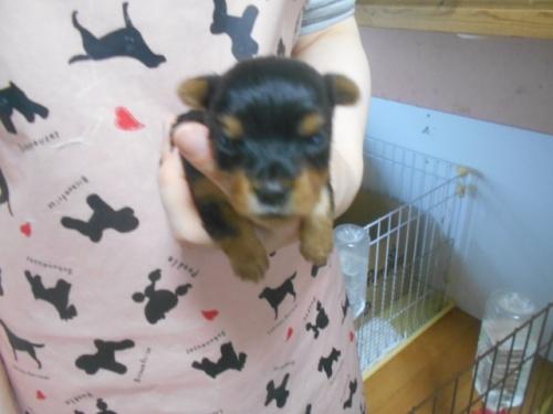 ヨークシャーテリアの子犬(ID:1252311131)の1枚目の写真/更新日:2020-03-30