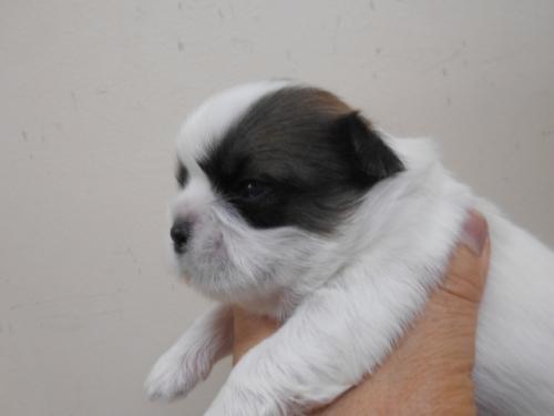 シーズーの子犬(ID:1252311136)の3枚目の写真/更新日:2019-09-05