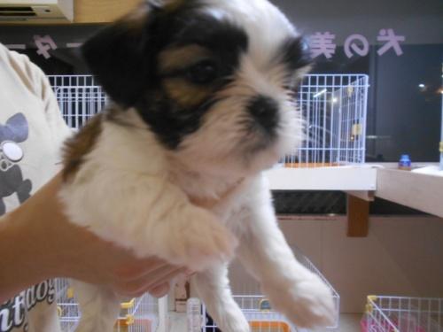 シーズーの子犬(ID:1252311137)の3枚目の写真/更新日:2019-10-21