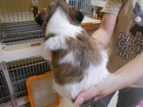 シーズーの子犬(ID:1252311137)の4枚目の写真/更新日:2019-10-21
