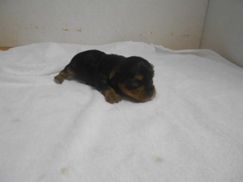 ヨークシャーテリアの子犬(ID:1252311142)の2枚目の写真/更新日:2020-03-30