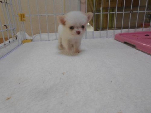 チワワ(ロング)の子犬(ID:1252311143)の1枚目の写真/更新日:2020-06-15