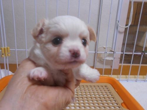 チワワ(ロング)の子犬(ID:1252311158)の1枚目の写真/更新日:2020-09-27