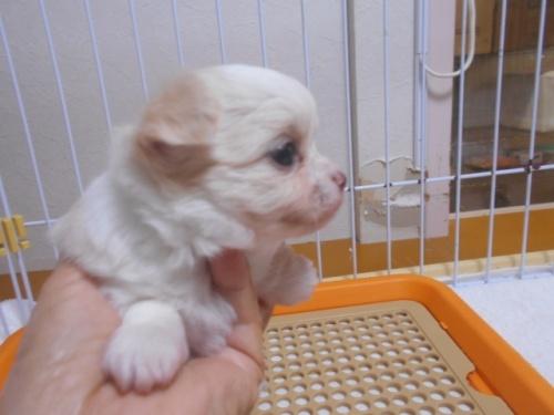 チワワ(ロング)の子犬(ID:1252311158)の3枚目の写真/更新日:2020-09-27