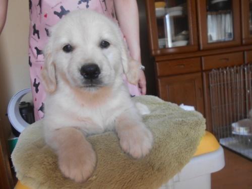 ゴールデンレトリバーの子犬(ID:1252311160)の1枚目の写真/更新日:2020-05-18