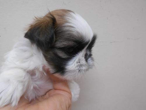シーズーの子犬(ID:1252311169)の2枚目の写真/更新日:2017-02-04