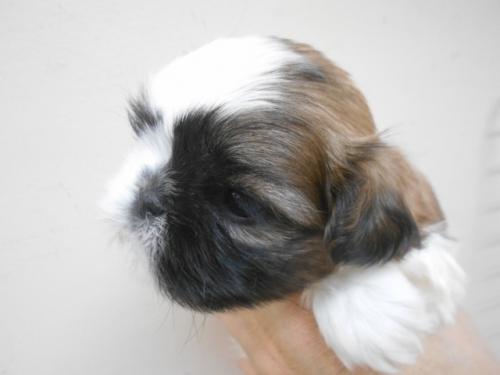 シーズーの子犬(ID:1252311169)の3枚目の写真/更新日:2017-02-04