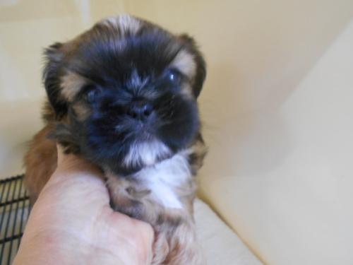 ミックスの子犬(ID:1252311173)の2枚目の写真/更新日:2017-03-07