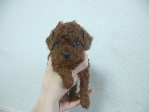 トイプードルの子犬(ID:1252311175)の1枚目の写真/更新日:2018-06-11