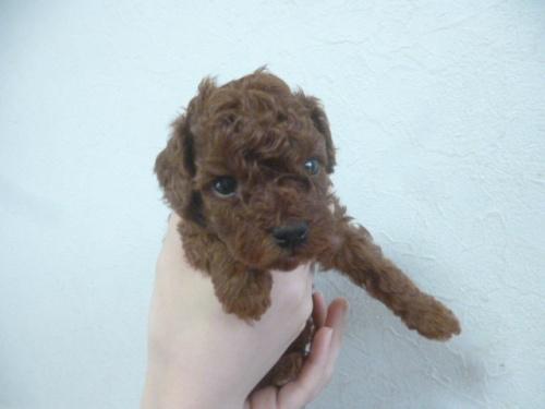 トイプードルの子犬(ID:1252311175)の3枚目の写真/更新日:2018-06-11