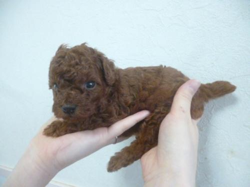 トイプードルの子犬(ID:1252311175)の4枚目の写真/更新日:2018-06-11
