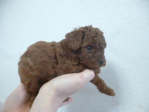トイプードルの子犬(ID:1252311175)の5枚目の写真/更新日:2018-06-11