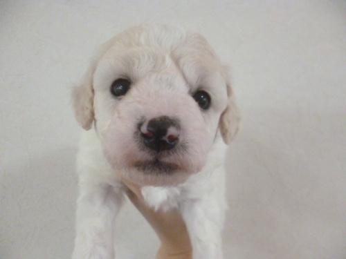 ビションフリーゼの子犬(ID:1252311177)の1枚目の写真/更新日:2017-03-07