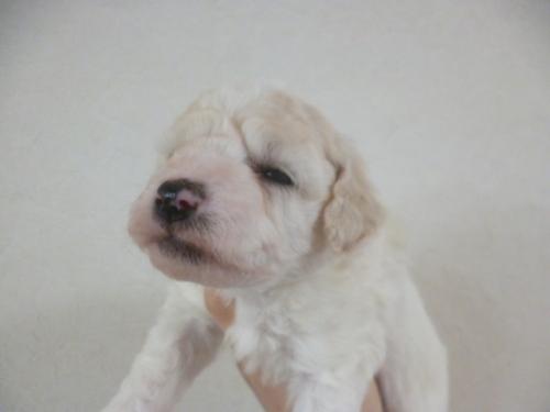 ビションフリーゼの子犬(ID:1252311177)の2枚目の写真/更新日:2017-03-07